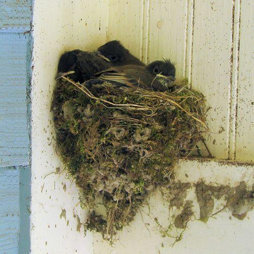 Swallows nest 09