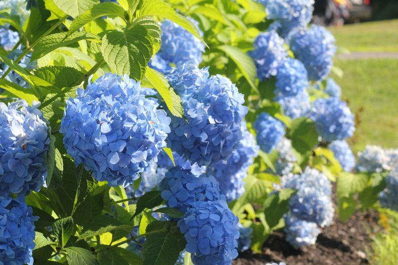 Lakes Region Steele Hill Blue Hydrangeas - OHS