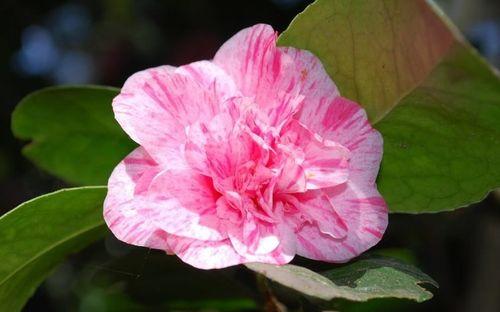 10813-KickOff-Camellia